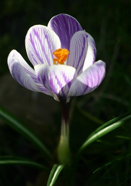 a single purple and white verigated crocus